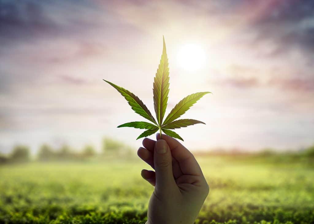 Feuille de cannabis utilisée pour faire du CBD thérapeutique